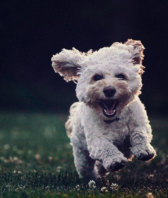 little white dog running on grass