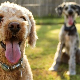 Photo of two dogs, one closer to the camera.