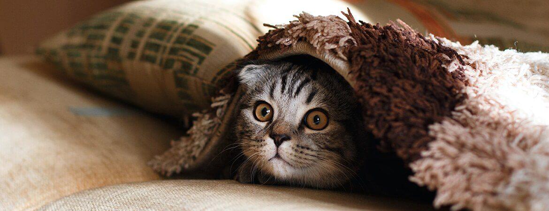 A grey kitten emerging from underneath a blanket.