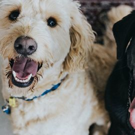 A white and a black dog smiling while sitting next to each other.