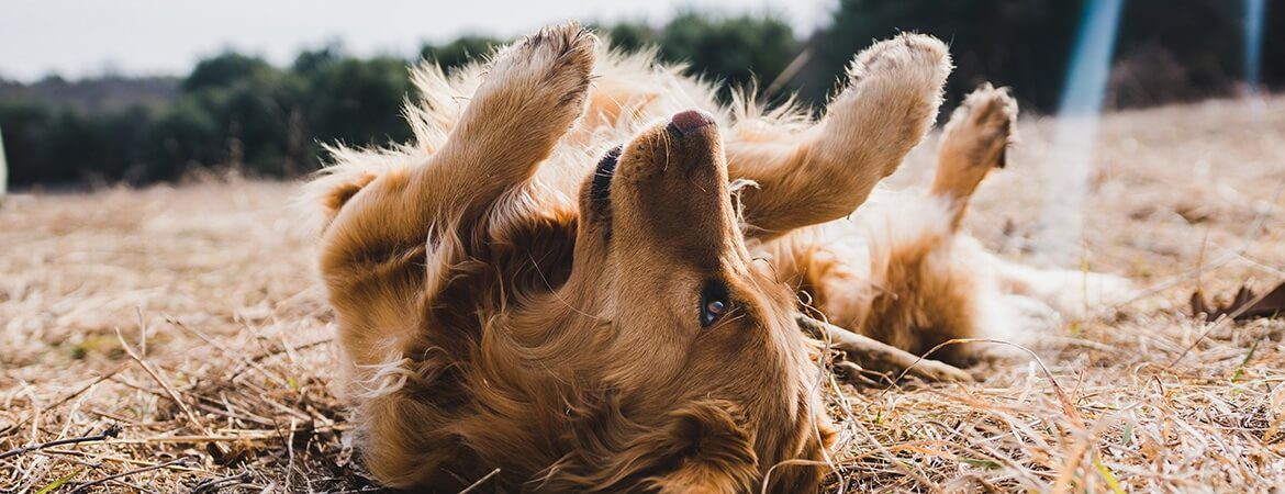 A golden retriever rolling around on its back in a field of dried grass.