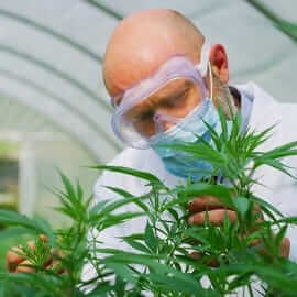 A Scientist inspecting a cannabis plant in a greenhouse.