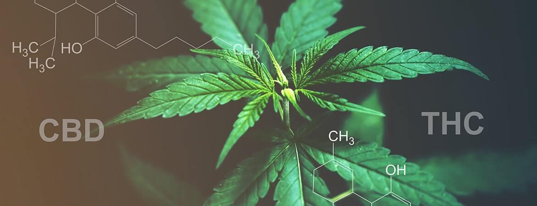 A hemp cannabis plant in direct light.